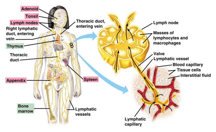 Circulatory System and The Human Heart Class 10 Notes   EduRev