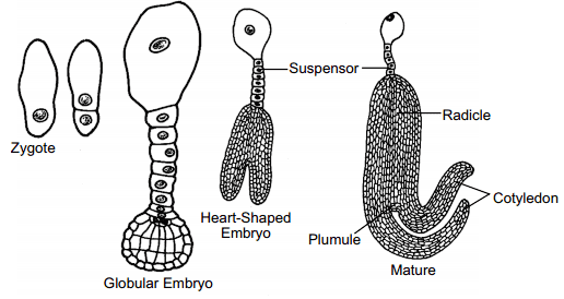 Embryo Development NEET Notes   EduRev