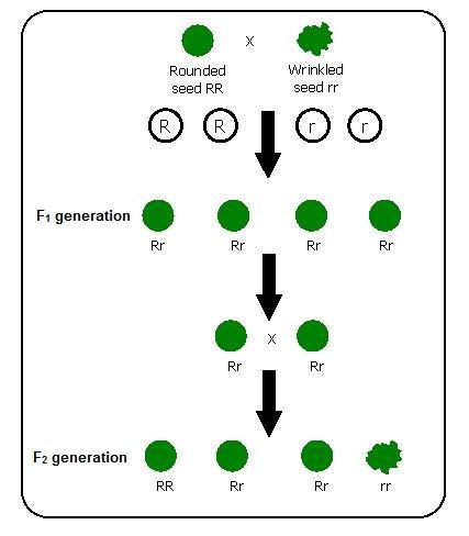 Mendel`s Contributions Class 10 Notes | EduRev