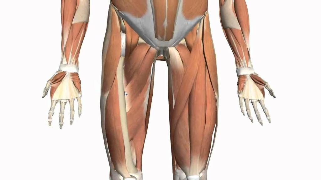 Types of Muscles and Muscle Fibre NEET Notes | EduRev