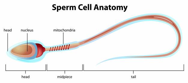 Gametogenesis and Spermatogenesis NEET Notes | EduRev