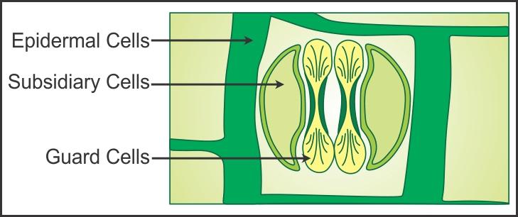 Chapter 6 - Tissue Class 9 Notes   EduRev
