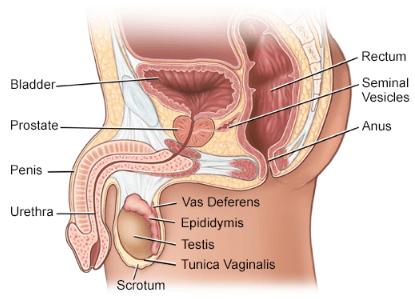 Male Reproductive Gland NEET Notes   EduRev