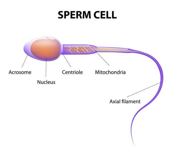Different Phases In Sexual Reproduction Neet Notes  Edurev-5138
