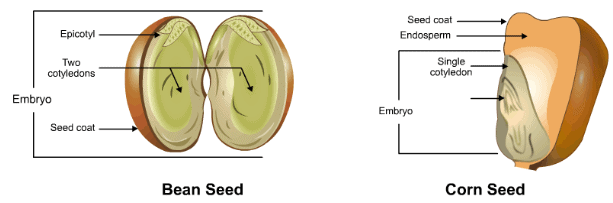 Theory & Procedure, Embryo of Dicot Seeds Class 10 Notes | EduRev