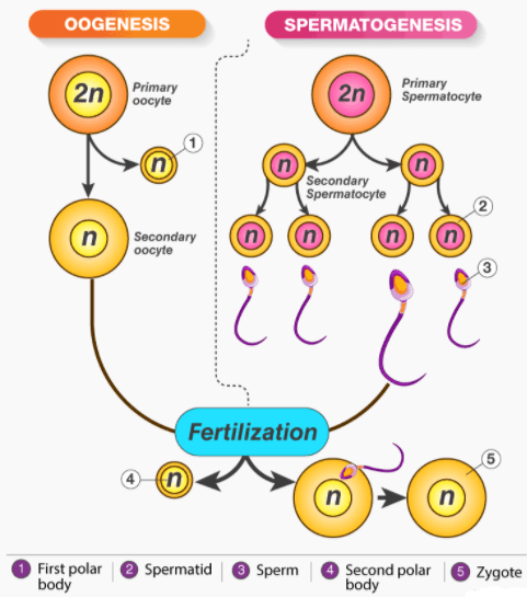 Gametogenesis and Spermatogenesis NEET Notes | EduRev