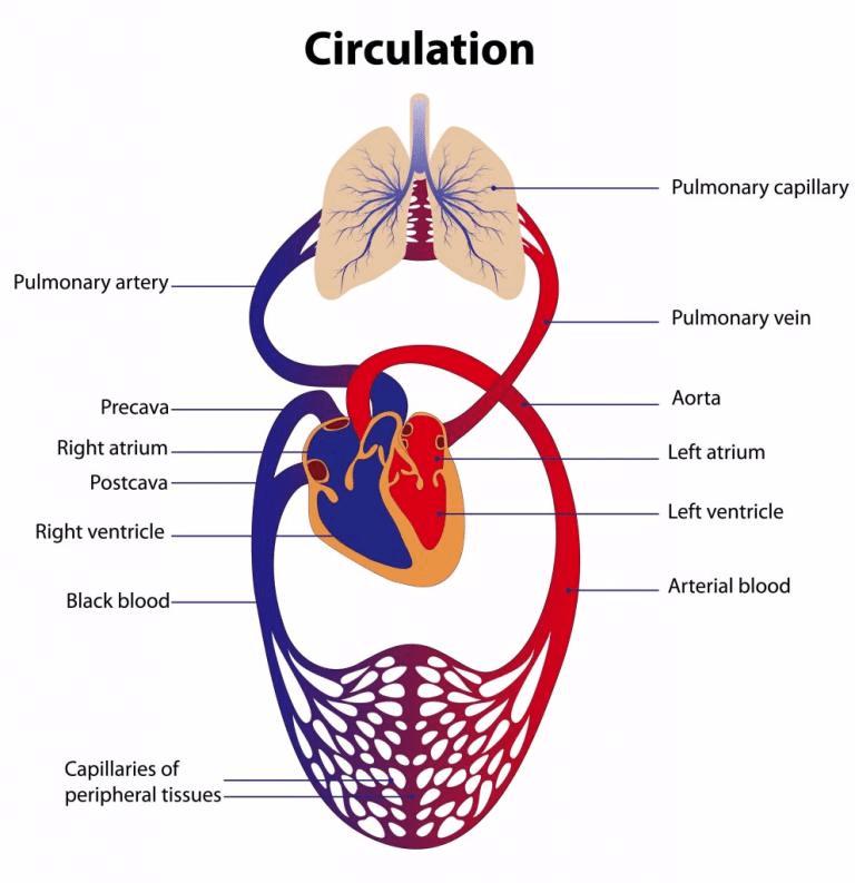 Practice Questions (Part - 1) - Circulatory System Class 10 Notes   EduRev