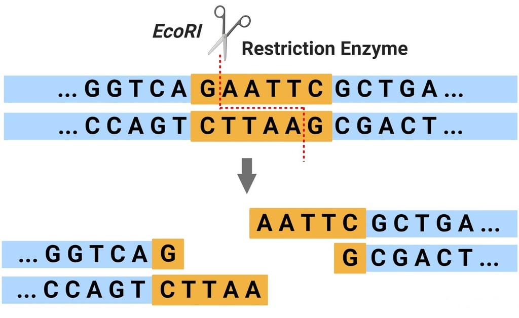 Tools of Recombinant DNA Technology: Restriction Enzymes Notes   EduRev