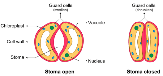 Theory & Procedure, Demonstration of Stomata on a Leaf Peel Class 10 Notes | EduRev