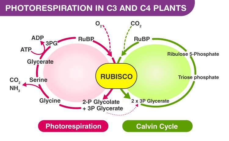 Previous Year Questions (2016-19) - Photosynthesis Notes | EduRev
