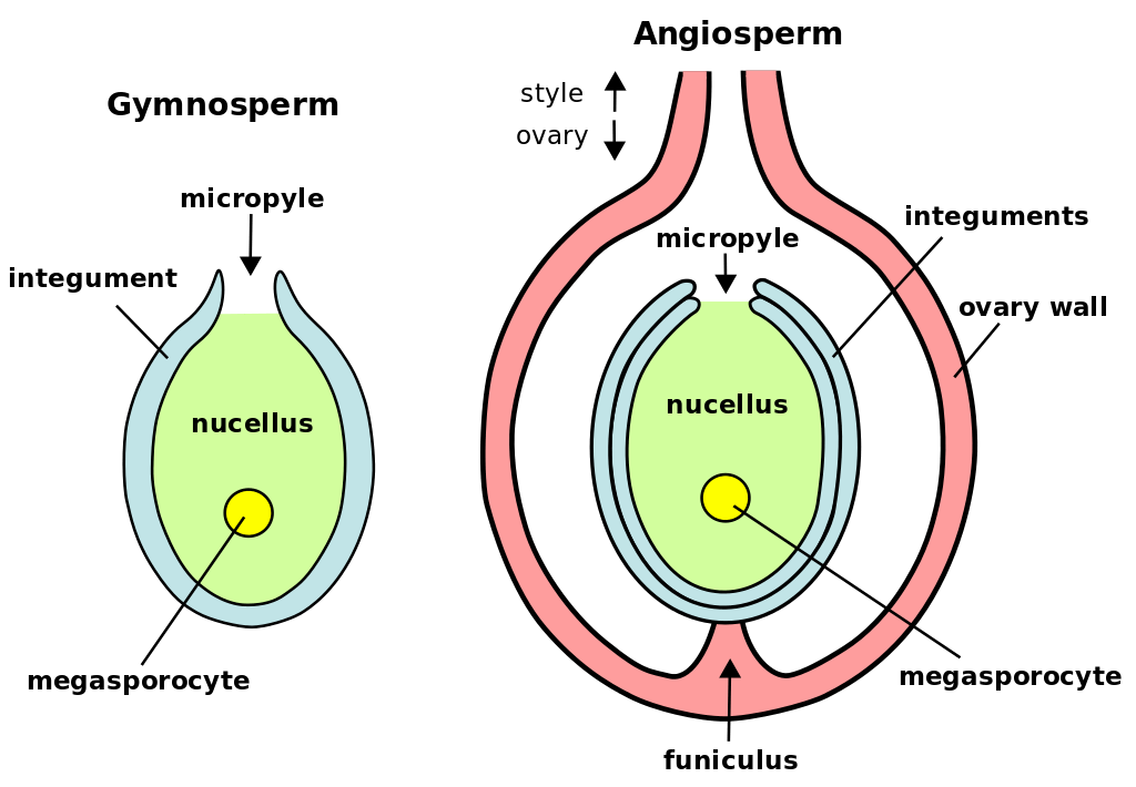 Megasporogenesis and Female Gamete Formation NEET Notes   EduRev