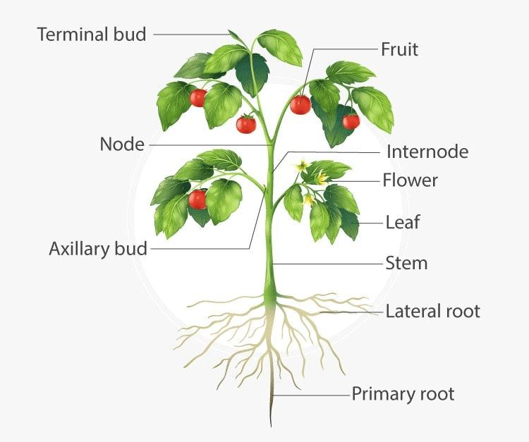 Key notes: Morphology of Flowering Plants NEET Notes | EduRev