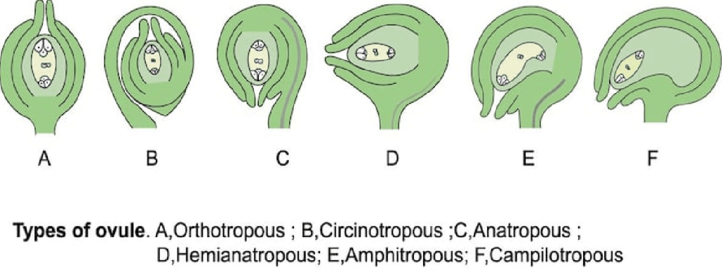 Female Reproductive Organ - Gynoecium NEET Notes | EduRev