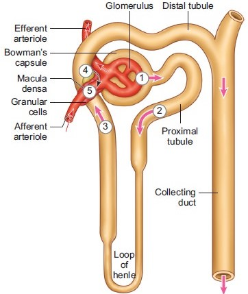 Excretory Products and their Elimination 1 - From Past 28 Years Questions NEET Notes | EduRev