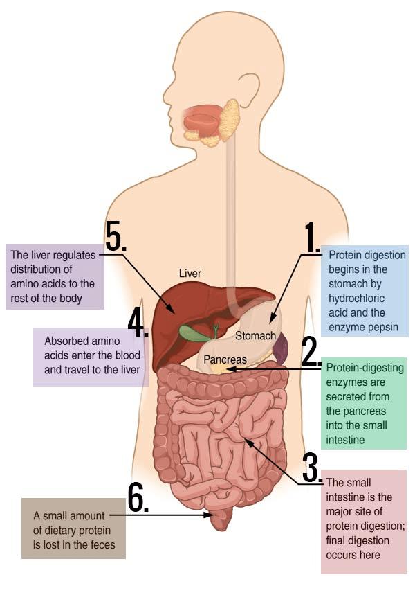 NCERT Solutions - Digestion and Absorption NEET Notes | EduRev