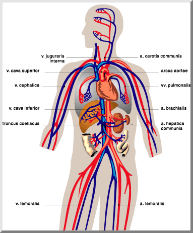 Practice Questions(Solved)- Circulatory System, Class 10, Science | EduRev Notes