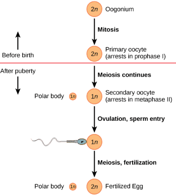 NCERT Solutions- Human Reproduction NEET Notes | EduRev