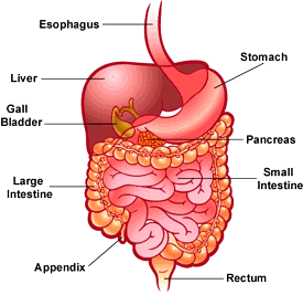 Important Notes for NEET: Digestion & Absorption Notes | EduRev