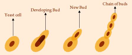 Kingdom Fungi NEET Notes | EduRev
