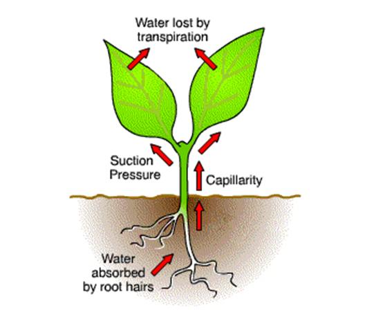 Practice Questions - Transportation In Plants Class 10 Notes | EduRev