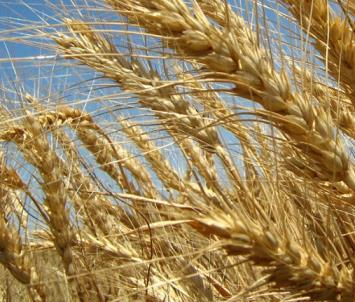 Food Crops - Geography Notes | EduRev