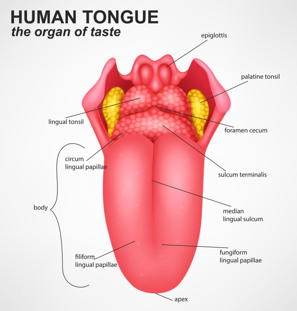 Mouth, Buccal Cavity and Tongue NEET Notes | EduRev