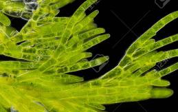 Algae: Characteristics and Examples NEET Notes   EduRev