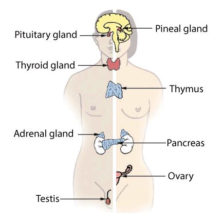 Doc: Glands NEET Notes | EduRev