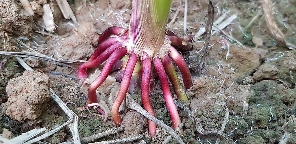 What Are Adventitious Roots? - WorldAtlas