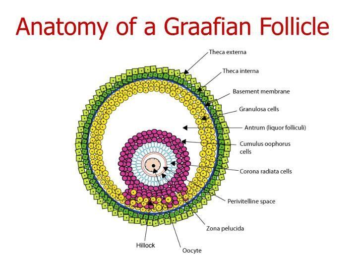 Graffian Follicle | Basement membrane, Pie chart, Biology