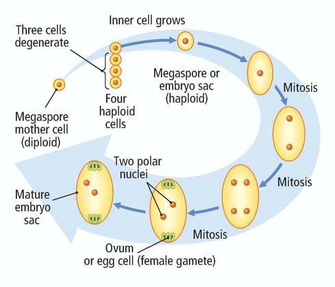 In ovule, meiosis occurs in | Biology Questions