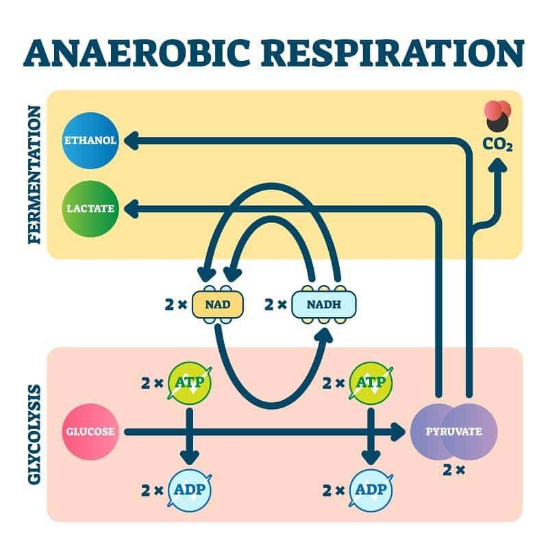 Anaerobic Respiration: The Definitive Guide | Biology Dictionary
