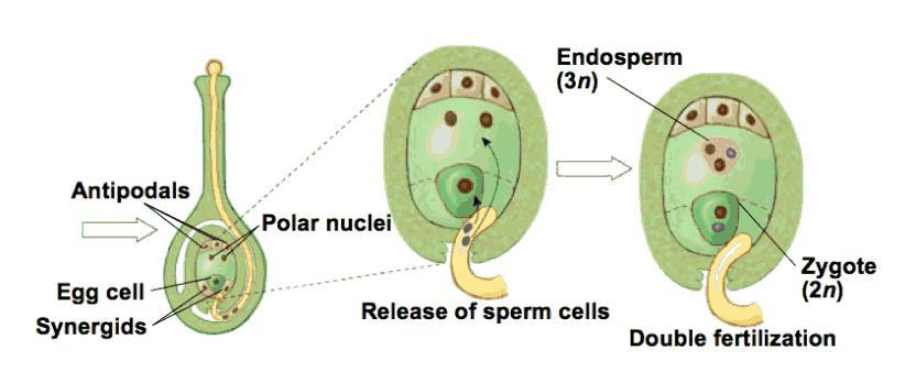 Endosperm nucleus in angiosperms