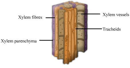 Complex permanent tissues NEET Notes | EduRev