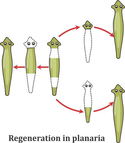 Explain the process of regeneration in Planaria. How is this process  different from reproduction?