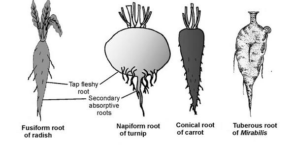 Modifications of Root