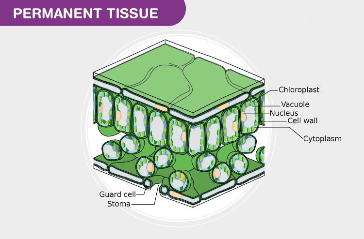 Plant Tissues - Practice Class 11 Notes | EduRev