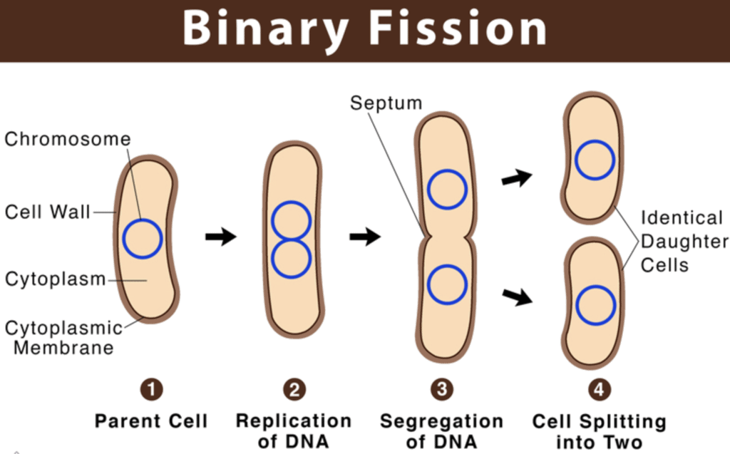 Reproduction In Human Beings - How do Organisms Reproduce, Class 10, Science   EduRev Notes