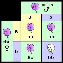 Phenotype - Wikipedia