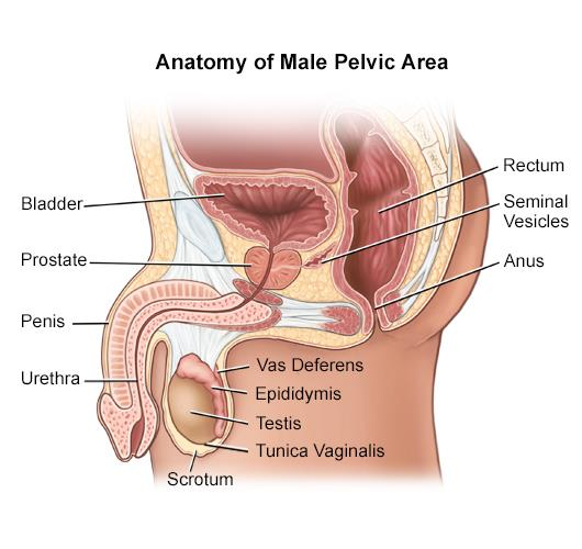 Overview of the Male Anatomy | Johns Hopkins Medicine