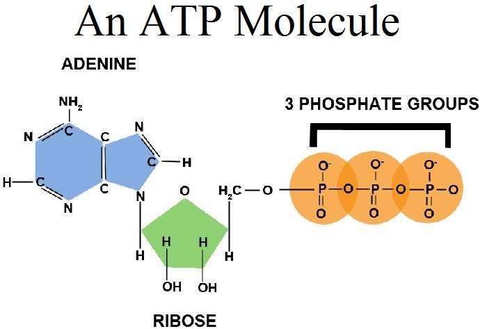 Production and Use of ATP – meteormemory
