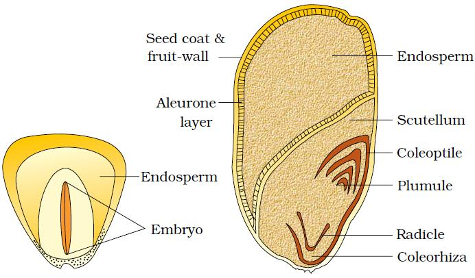 Welcome to the Living World: Morphology of Flowering Plants - Notes | Class  11 | Part 5: The Fruit and Seed