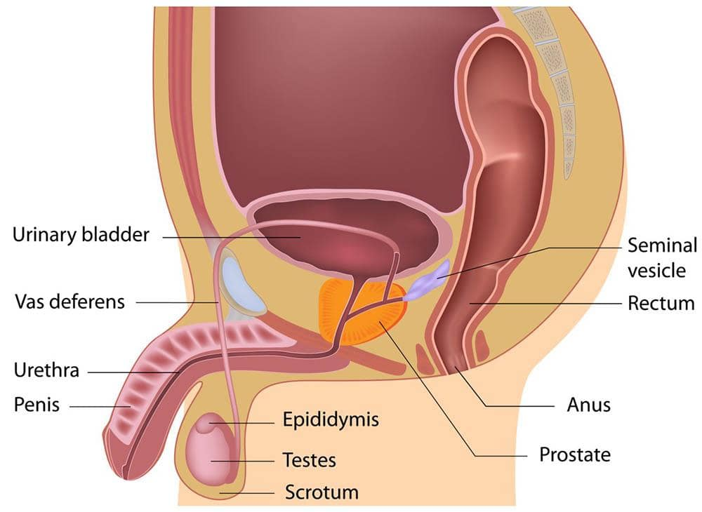 Male reproductive system   healthdirect