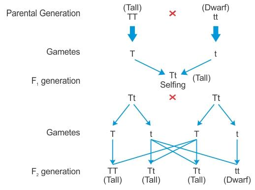 can you please explain the monohybrid cross and dihybrid cross - Biology -  TopperLearning.com | 10190