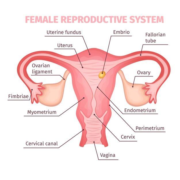 Free Vector   Female reproductive system scientific